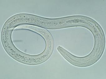 Взрослая особь червя Ancylostoma duodenale, паразитирующая в кишечнике человека.