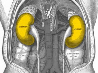 Расположение почек в теле человека.  Изображение с сайта wikimedia.org.