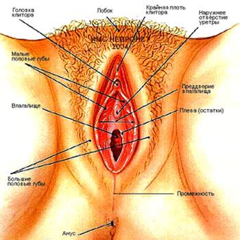 устройство женской вагины фото
