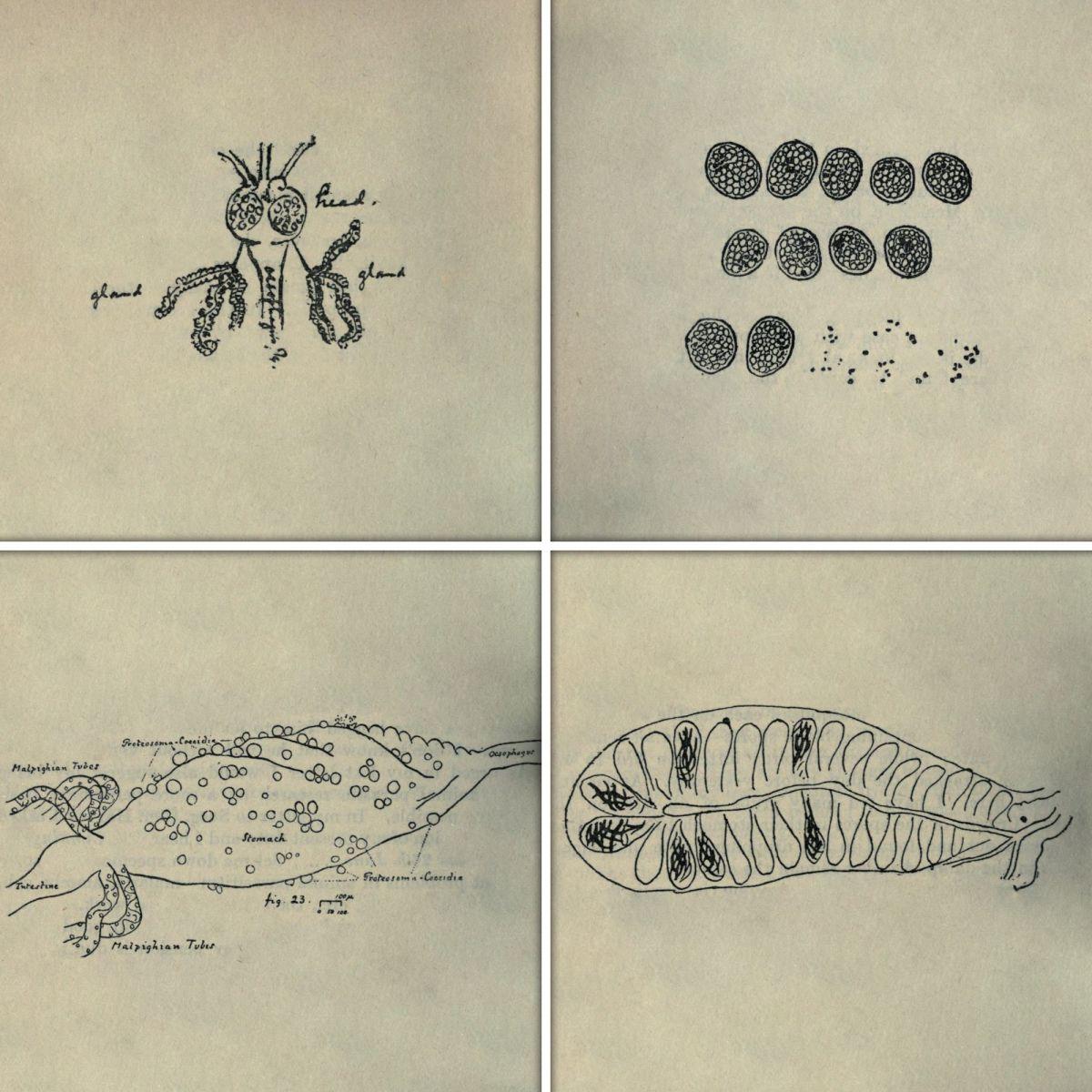 Зарисовки из писем и публикаций Рональда Росса