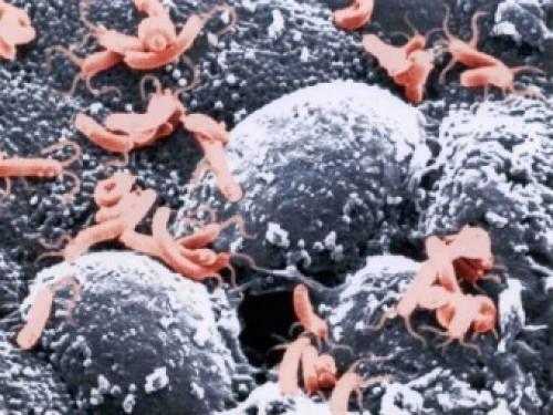 Бактерии Helicobacter pylori. Изображение с сайта illinois.edu
