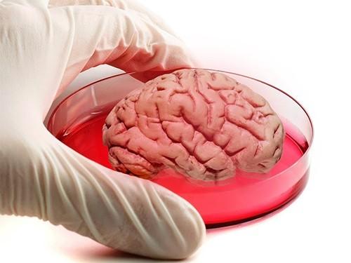 В лаборатории вырастили мини-мозг