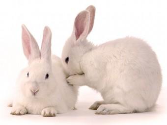 негормональный мужской контрацептив успешно испытан кроликах