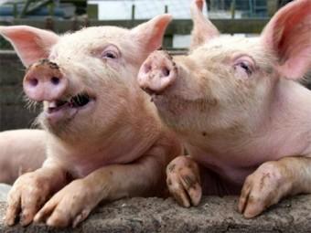 сша приступили выращиванию человеческих органов телах свиней
