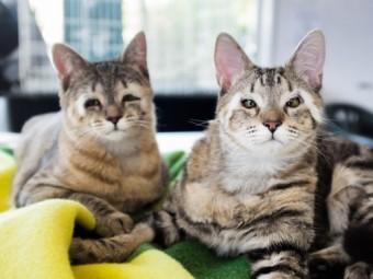 австралийские врачи спасли зрение двум котятам