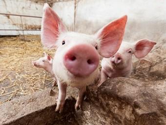 способ лечения переломов испытали свиньях