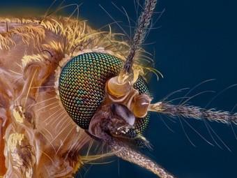 бактерия против вирусов помешать комарам инфицировать