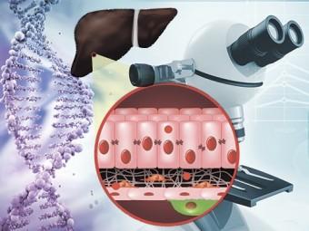 идентифицирован белок запускающий процесс фиброза печени