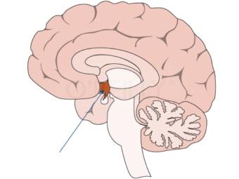 часть мозга которая отвечает за секс