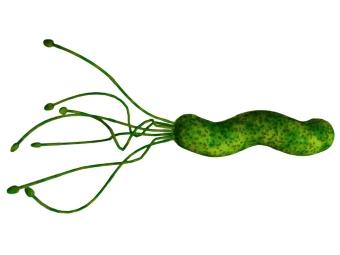 бактерия язвы